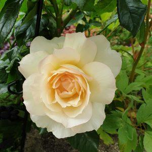 Rückblick: Rosen zum VerwöhnenWirkung auf Körper Geist und Seele